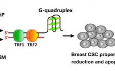 长春应化所JACS: 手性配合物在根除CSCs方面显示出明显的对映体选择性