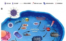 浙大 ACS Nano:180度大反转!改变自噬作用提高对乏氧肿瘤的光动力治疗